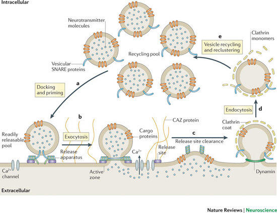 Exo-endocytic cycle of SVs