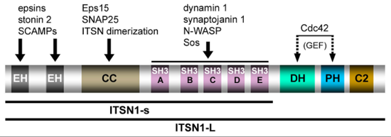 Domain structure and protein interactions of intersectin 1L (ITSN1-L) (taken from Pechstein et al., Biochem. Soc. Trans. 2010)
